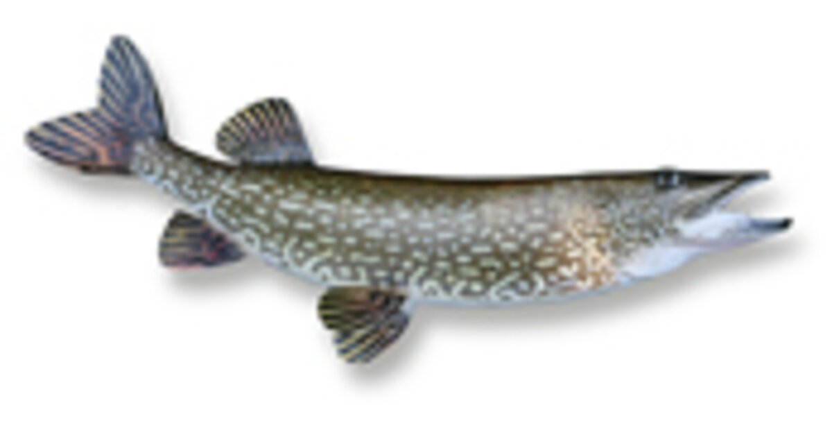 Freshwater Fish: Northern Pike | Discover Boating